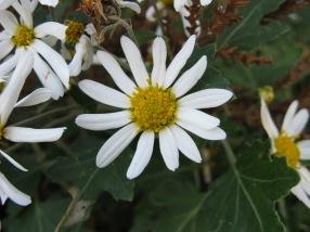Chrysanthemum japonense