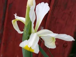 iris bianco